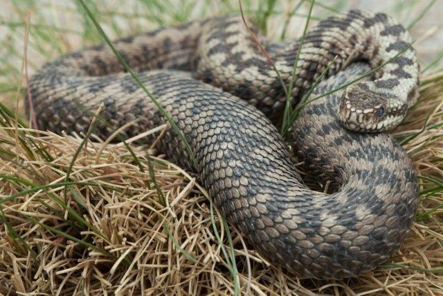 jadowity wąż
