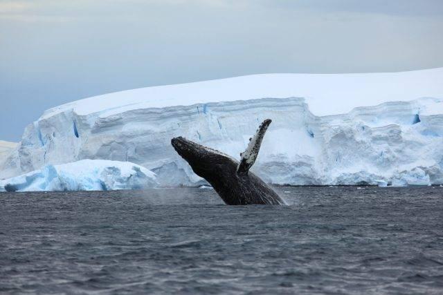 polujący humbak, Antarktyda