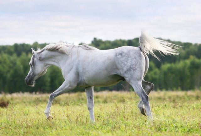 biały koń czystej krwi arabskiej