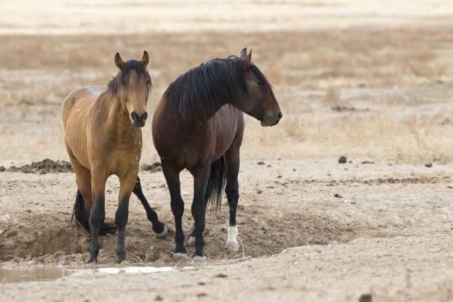 mustangi dzikie konie u wodopoju