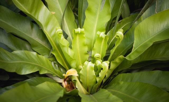 Zanokcica gniazdowa (Asplenium nidus)
