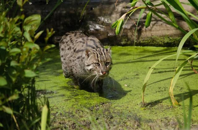 kot cętkowany
