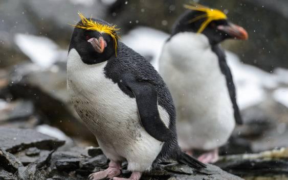 Pingwin złotoczuby