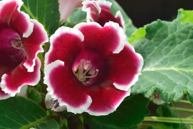 gloksynia biało różowa