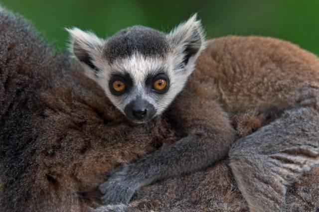 młody lemur