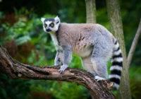 Lemur katta (Lemur catta)