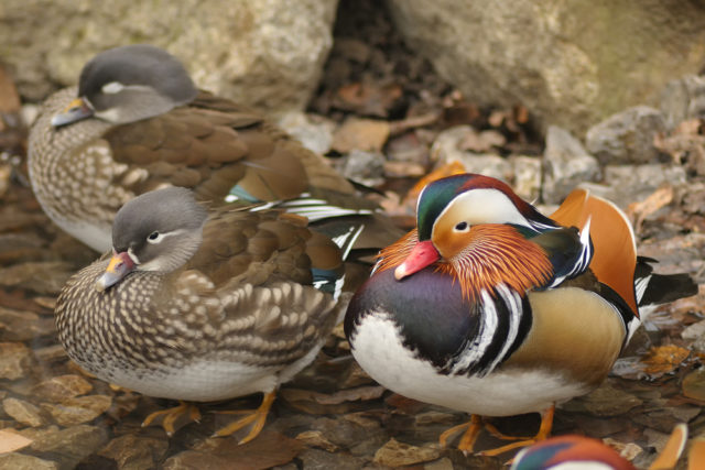 kaczka mandarynka samiec i samica