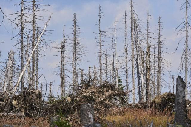 las zniszczony przez kornika