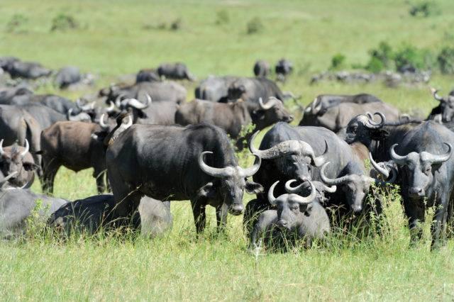 stado bawołów afrykańskich
