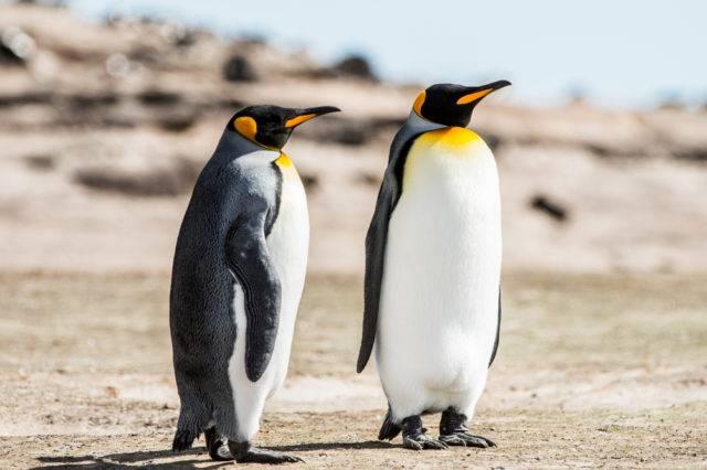 lista ptaków antarktyki pingwiny królewskie
