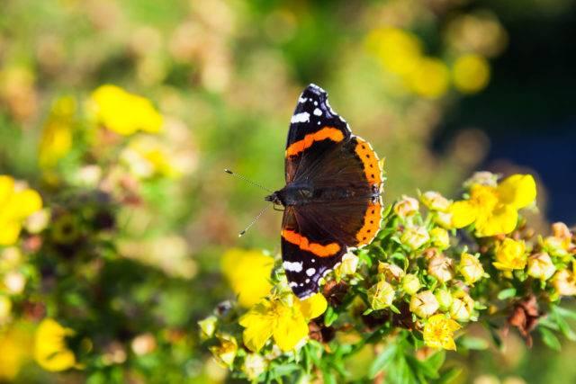 motyl rusałka admirał