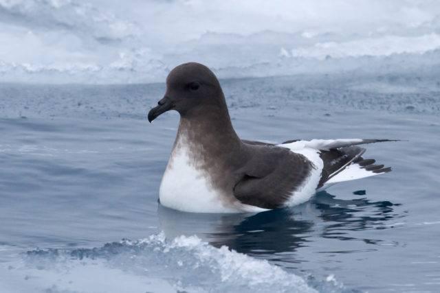 petrel antarktyczny