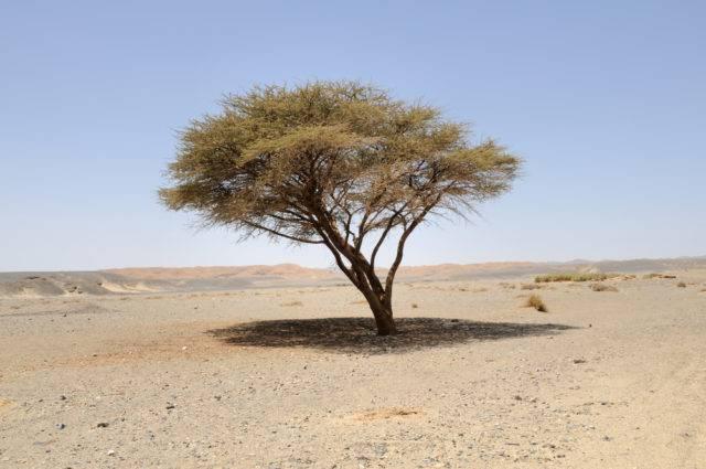 Przystosowanie akacji do życia na pustyni