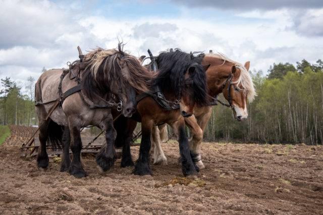 koń północno-szwedzki podczas prac polowych