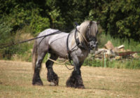 Koń Poitevin