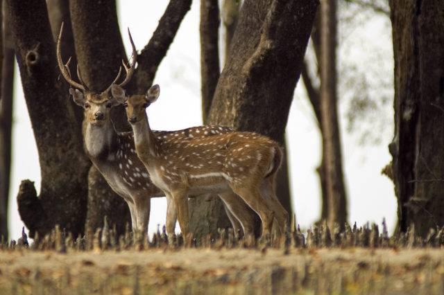 jelenie czytal pasące się w lesie namorzynowym