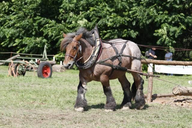 rasa koni koń ardeński