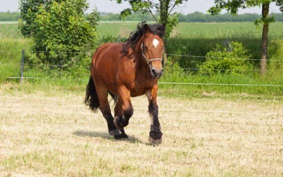 Koń ardeński