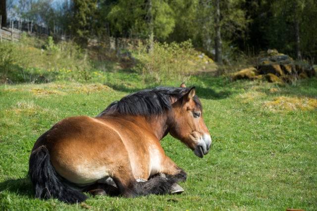 koń ardeński na pastwisku