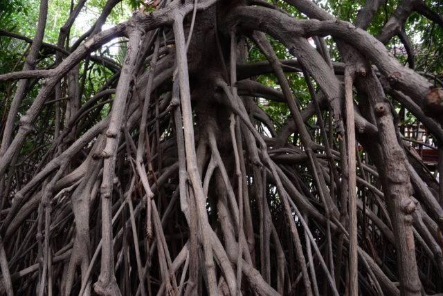 korzenie lasu namorzynowego