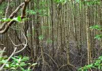 Lasy namorzynowe
