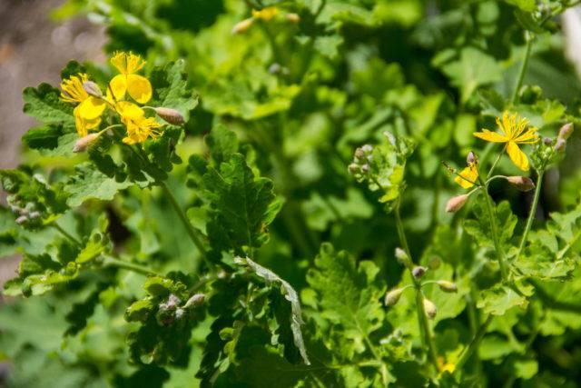 glistnik jaskółcze ziele roślina