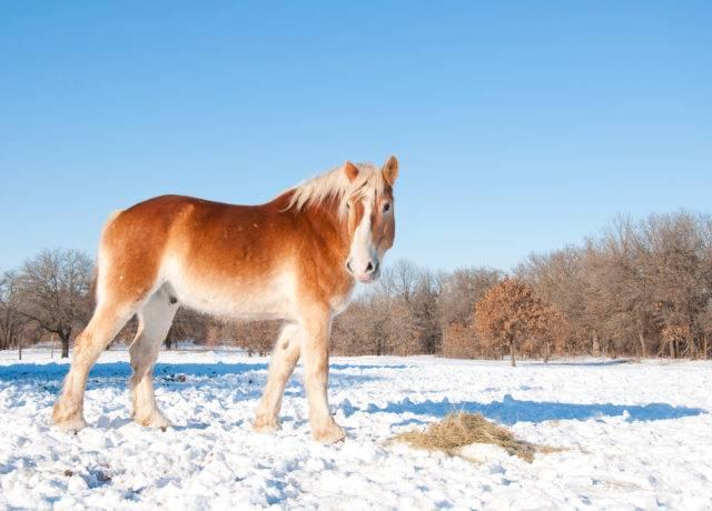 koń belgijski w zimie