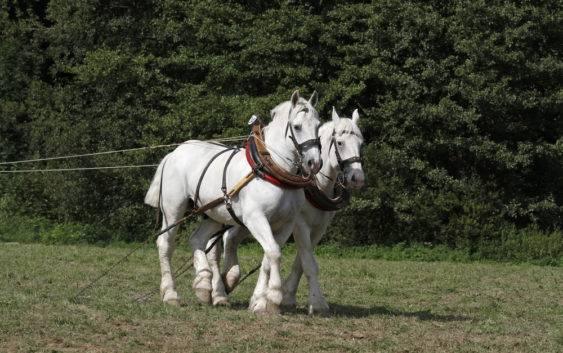 Koń buloński