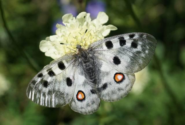 gatunke motyla dziennego niepylak apollo