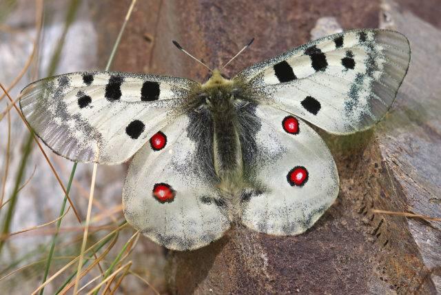 największy motyl polski niepylak apollo