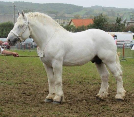 koń buloński na wystawie