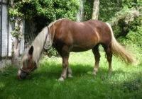 Noriker (Koń norycki)