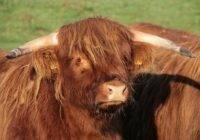 Dopłaty do hodowli bydła szkockiego