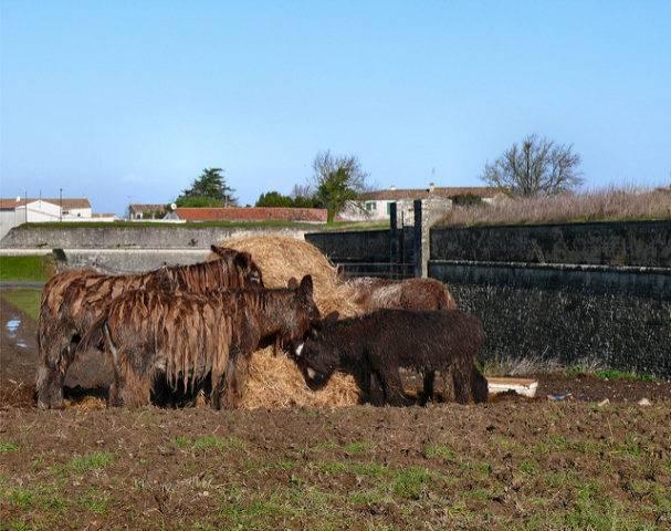 osły Poitou donkey