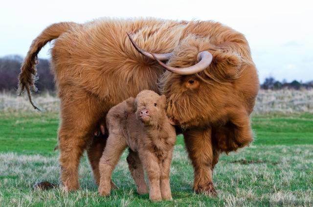 bydło szkockie krowa z cielakiem