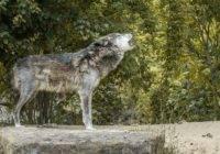 Dlaczego wilki wyją?