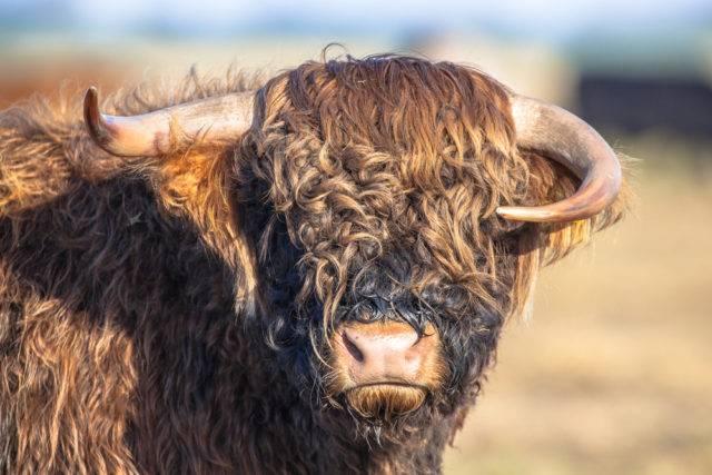 głowa bydła szkockiego