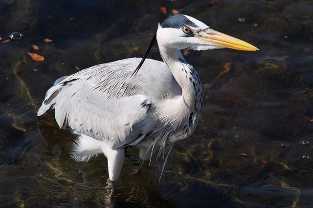 gray heron czapla siwa