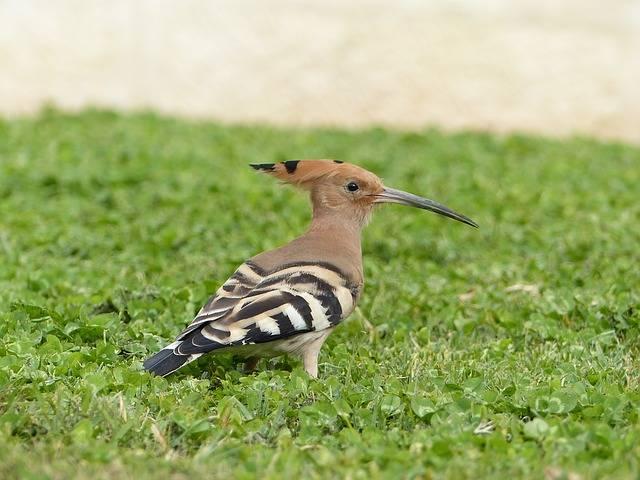 ptaki polskie dudek
