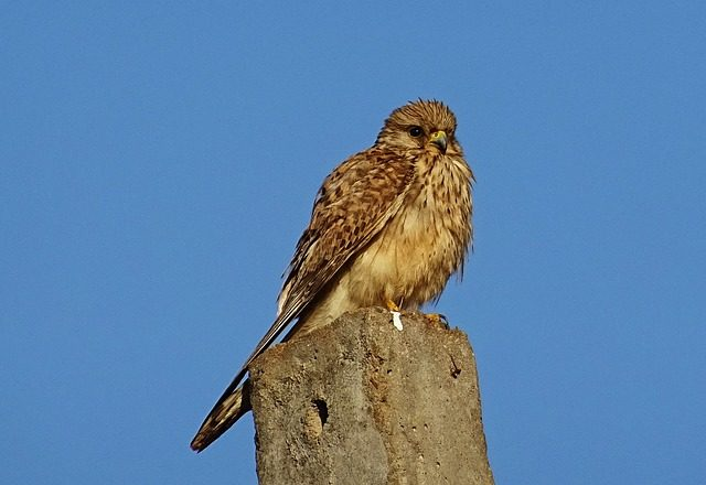 ptaki polskie - pustułki