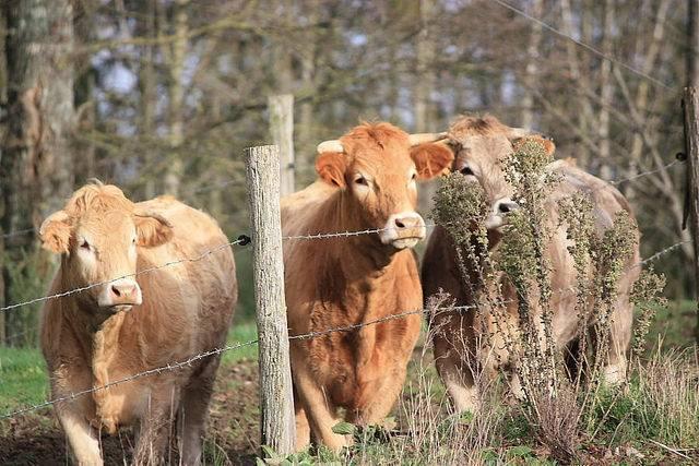 lista ras bydła mięsnego limousine