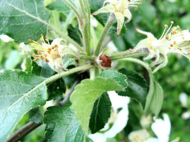 szkodniki jabłoni Kwieciak jabłkowiec