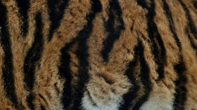 sierść tygrysa syberyjskiego
