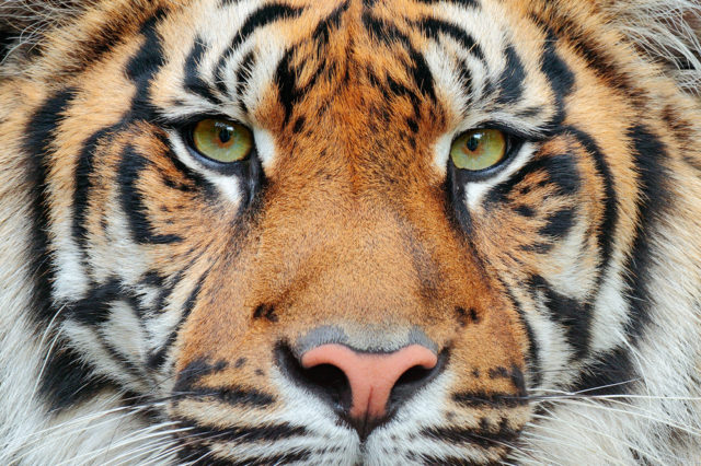 głowa tygrysa syberyjskiego