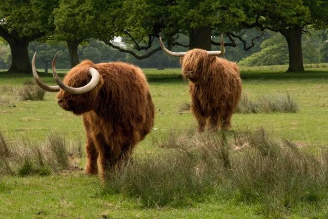 jak hodować bydło szkockie poradnik