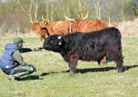 Jak hodować bydło szkockie?