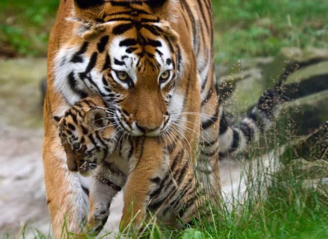 tygrys syberyjski z młodym