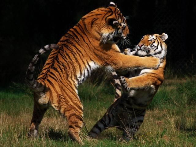 walka tygrysów syberyjskich