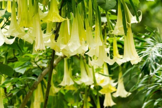 Najbardziej trujące rośliny w Polsce bieluń (datura)