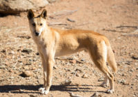 Ciekawostki o psach dingo